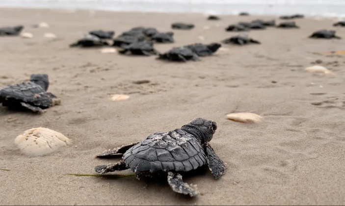Kemp's ridley sea turtle hatchling releases